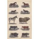 Horses, Bison