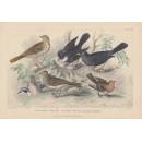 Blackbird, Thrush